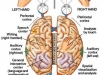 cervello_emisferi1